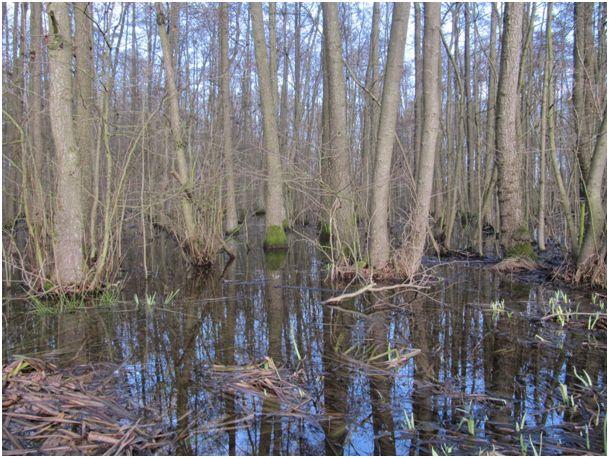 Wachsen lassen: Erlenbruchwald in einer Tonsenke